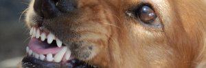 peleas-de-perros-ilegales-dientes-de-perro
