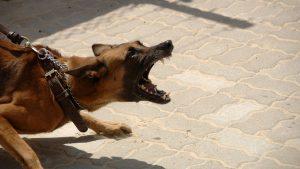 peleas de perros ilegales perro enojado 300x169 - peleas-de-perros-ilegales-perro-enojado