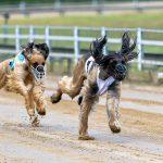 """Carreras de perros 150x150 - Las carreras de perros son un """"deporte"""" cruel"""