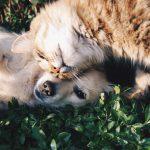 perro blanco y gato gris 150x150 - ¿Por qué castrar a tu mascota?