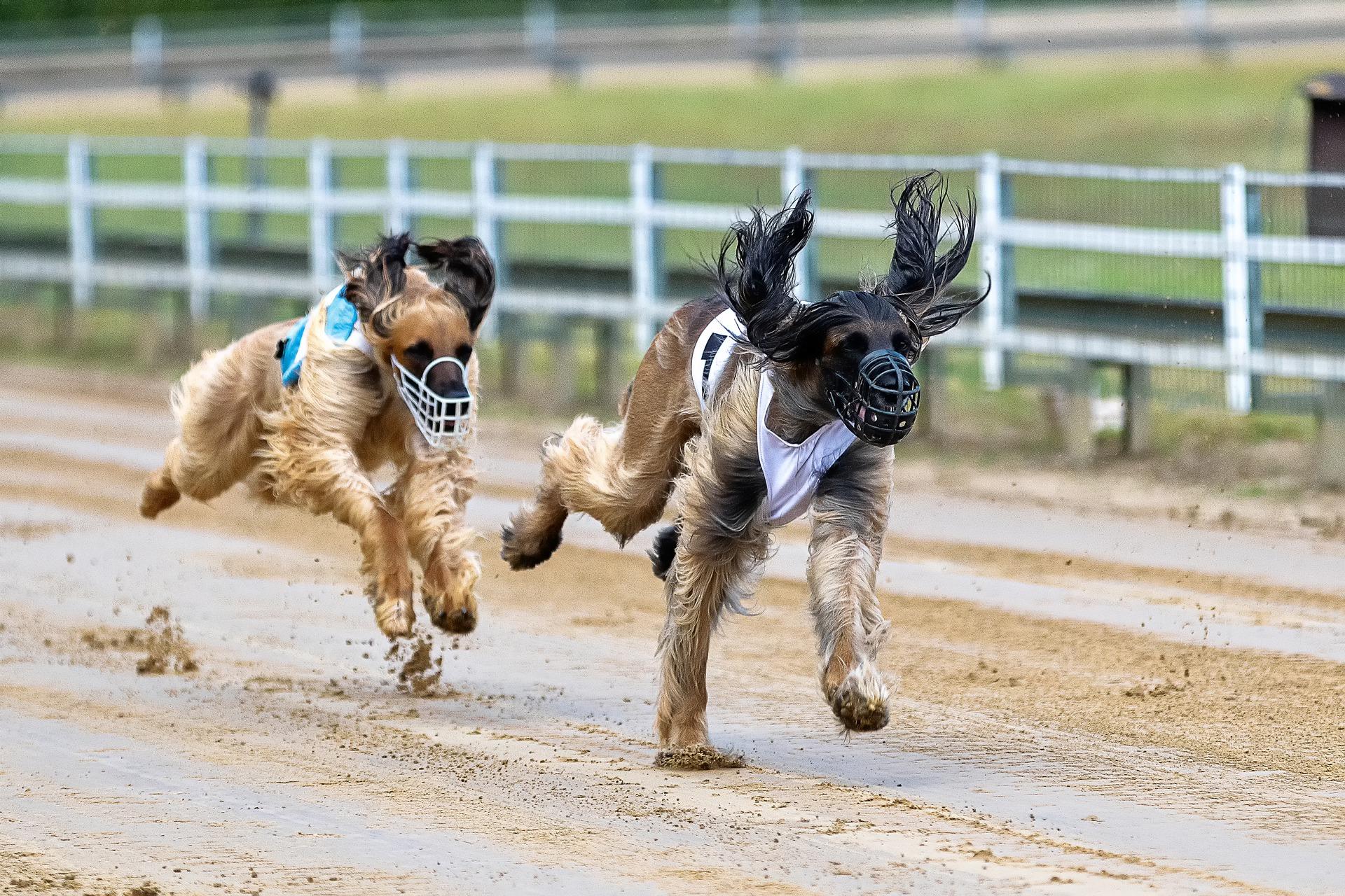 """Carreras de perros - Las carreras de perros son un """"deporte"""" cruel"""