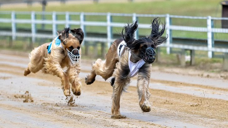 """Carreras de perros 728x409 - Las carreras de perros son un """"deporte"""" cruel"""