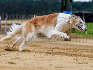 carreras de perros deporte 300x227 - carreras de perros deporte