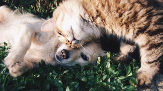 perro blanco y gato gris 326x183 - ¿Por qué castrar a tu mascota?