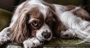 perro triste 300x163 - perro triste